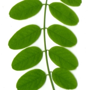 Photographie n°154893 du taxon Robinia pseudoacacia L.