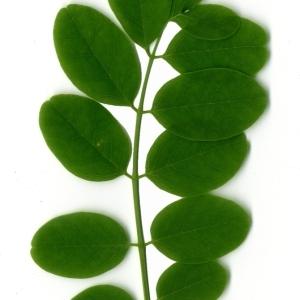 Photographie n°154894 du taxon Robinia pseudoacacia L.