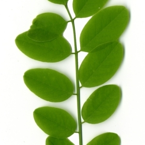 Photographie n°154895 du taxon Robinia pseudoacacia L.