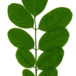 Photographie n°154896 du taxon Robinia pseudoacacia L.