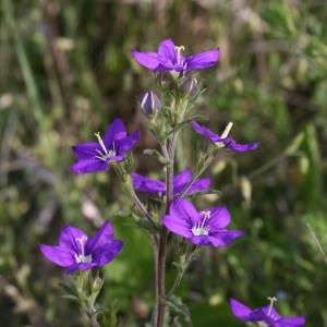Photographie n°155114 du taxon Legousia speculum-veneris (L.) Chaix