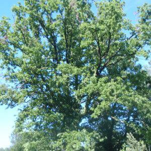 Photographie n°155158 du taxon Quercus robur L. [1753]
