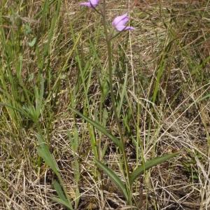 Photographie n°155377 du taxon Cephalanthera rubra (L.) Rich. [1817]