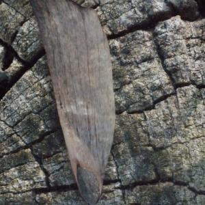 - Pinus pinaster subsp. pinaster