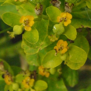 Euphorbia palustris L. (Euphorbe des marais)
