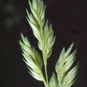 - Phalaris arundinacea L. [1753]