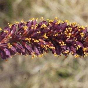 Amorpha fruticosa L. (Faux Indigo)