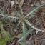 Liliane Roubaudi - Rhaponticum coniferum (L.) Greuter [2003]