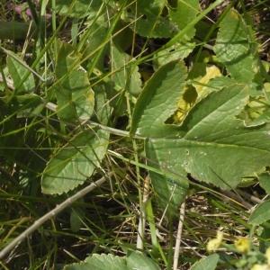 Photographie n°155691 du taxon Raphanus raphanistrum L. [1753]
