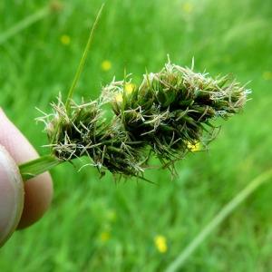 Carex cuprina (Sandor ex Heuff.) Nendtv. ex A.Kern. [1863] (Laiche couleur de renard)