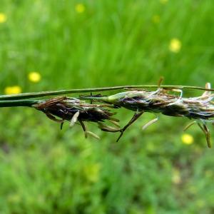 Photographie n°155730 du taxon Carex hirta L. [1753]