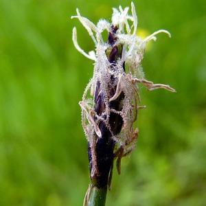 Photographie n°155753 du taxon Eleocharis palustris (L.) Roem. & Schult.