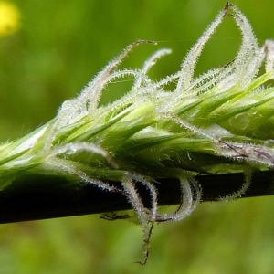 Photographie n°155769 du taxon Carex hirta L. [1753]