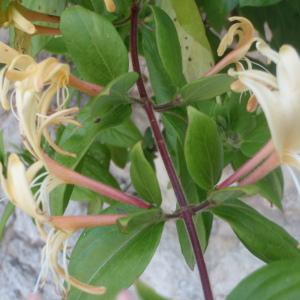 Photographie n°155793 du taxon Lonicera japonica Thunb. [1784]