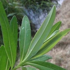 Photographie n°155816 du taxon Euphorbia palustris L. [1753]