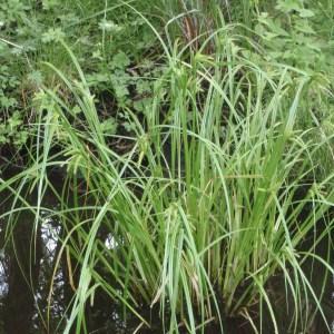 Photographie n°155817 du taxon Carex pseudocyperus