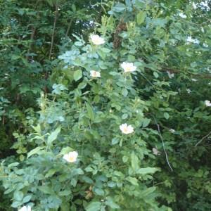 Photographie n°155847 du taxon Rosa corymbifera
