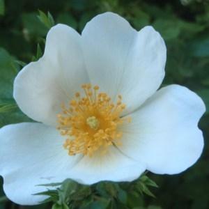 Photographie n°155849 du taxon Rosa corymbifera