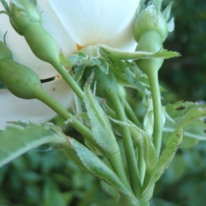 Photographie n°155850 du taxon Rosa corymbifera