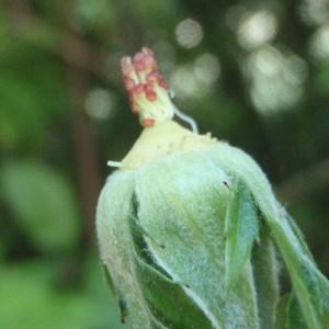 Photographie n°155851 du taxon Rosa corymbifera