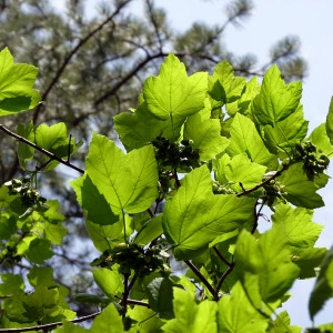 Photographie n°155866 du taxon Acer opalus Mill.