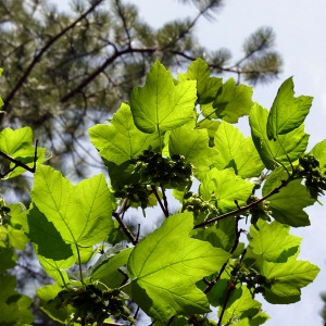 Photographie n°155867 du taxon Acer opalus Mill.