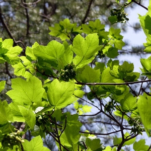 Photographie n°155871 du taxon Acer opalus Mill.