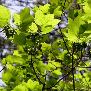 Photographie n°155872 du taxon Acer opalus Mill.