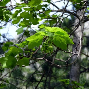 Photographie n°155875 du taxon Acer opalus Mill.