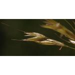 Agrostis spica-venti var. interrupta G.Mey. (Agrostide à panicule interrompue)