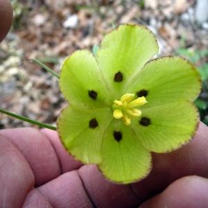 Fritillaria involucrata All. (Fritillaire à involucre)