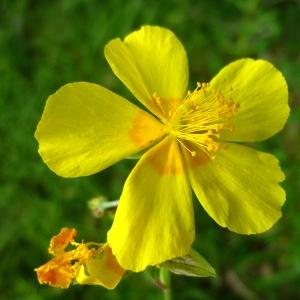 Photographie n°156053 du taxon Helianthemum grandiflorum (Scop.) DC.