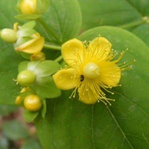 Hypericum androsaemum L. (Androsème)