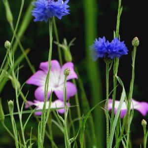 - Centaurea cyanus L.