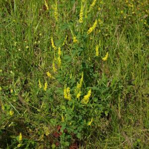 Photographie n°156169 du taxon Melilotus officinalis (L.) Lam. [1779]