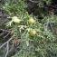 Emmanuel Stratmains - Juniperus phoenicea L. [1753]