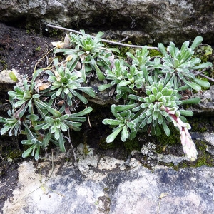 Photographie n°156234 du taxon Saxifraga callosa Sm.