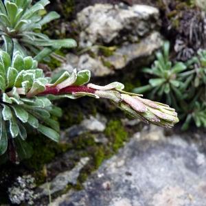 Photographie n°156238 du taxon Saxifraga callosa Sm.