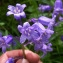 Mathieu Sinet - Hyacinthoides x massartiana Geerinck