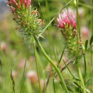 Photographie n°156431 du taxon Trifolium incarnatum subsp. molinerii (Balb. ex Hornem.) Ces. [1844]