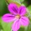 Marie  Portas - Geranium robertianum subsp. purpureum (Vill.) Nyman [1878]