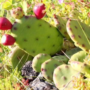 Opuntia humifusa (Raf.) Raf. (Figuier d'Inde)