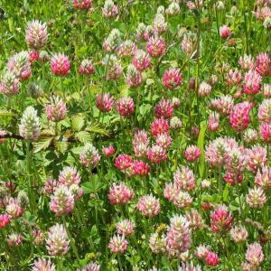 Photographie n°156484 du taxon Trifolium incarnatum subsp. molinerii (Balb. ex Hornem.) Ces. [1844]