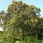 Bernard Andrieu - Quercus ilex L.