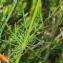 Marie  Portas - Conopodium majus (Gouan) Loret