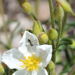 Cistus umbellatus L. (Hélianthème à bouquets)