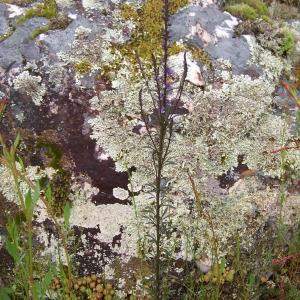 Photographie n°156664 du taxon Anarrhinum bellidifolium (L.) Desf.