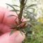 Mathieu Sinet - Anarrhinum bellidifolium (L.) Desf.