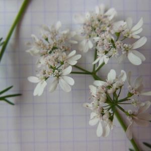 Photographie n°156740 du taxon Coriandrum sativum L.