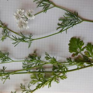 Photographie n°156741 du taxon Coriandrum sativum L.
